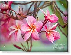 Pink Color Frangipani Flower Beauty Acrylic Print