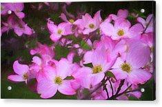 Pink Dogwood Flowers  Acrylic Print