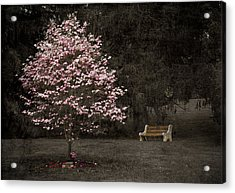 Pink Dogwood Tree And A Bench Acrylic Print
