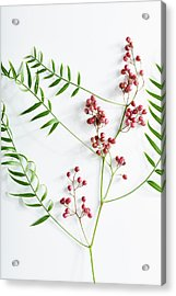 Pink Peppercorn Branch On White Acrylic Print by Amy Neunsinger