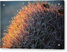 Pink Prickly Cactus Acrylic Print