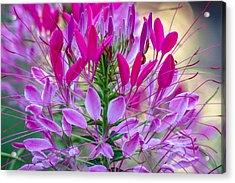 Pink Queen Flower Acrylic Print