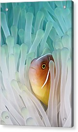 Pink Skunk Clownfish Acrylic Print by Liquid Kingdom - Kim Yusuf Underwater Photography