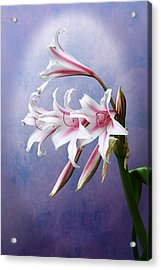 Pink Striped White Lily Flowers Acrylic Print