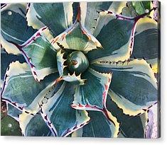 Pinwheel Succulent Acrylic Print