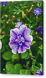 Pitlochry.  Purple Petunia. Acrylic Print