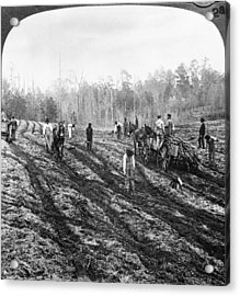 Planting Sugar Cane In Georgia Acrylic Print by Hulton Archive