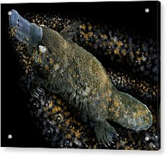 Platypus At Night Acrylic Print