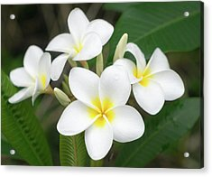 Pleasing Plumeria Acrylic Print