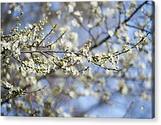 Plum Blossoms - 19 4907 Acrylic Print