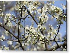 Plum Blossoms - 19 4915 Acrylic Print