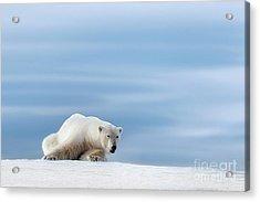 Polar Bear Crouching On The Frozen Snow Of Svalbard Acrylic Print