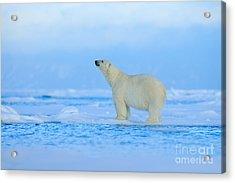 Polar Bear, Dangerous Looking Beast On Acrylic Print