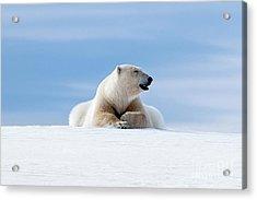 Polar Bear Laying On The Frozon Snow Of Svalbard Acrylic Print