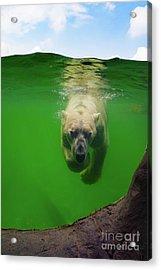 Polar Bear Underwater Acrylic Print