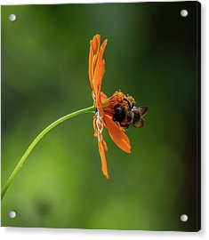Acrylic Print featuring the photograph Pollinating The Cosmos by Dale Kincaid