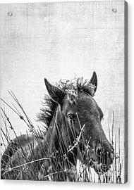 Pony Foal Acrylic Print