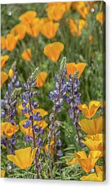 Poppies And Mountain Lupine 5585-030519 Acrylic Print