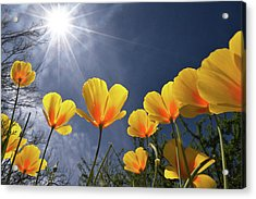 Poppies Enjoy The Sun Acrylic Print