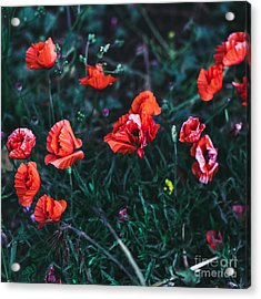 Poppies In The Field. Minimal Style Acrylic Print