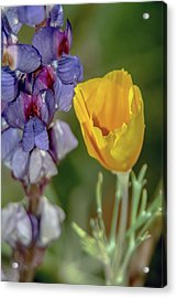 Poppy And Mountain Lupine 5615-030519 Acrylic Print
