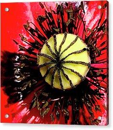 Red Poppy_7822_15 Acrylic Print