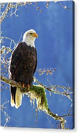 Portrait Of A Backlit Bald Eagle In Squamish Acrylic Print