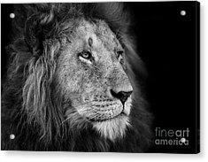 Portrait Of A Big Lion From Rekero Acrylic Print