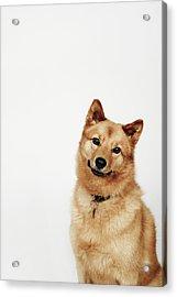 Portrait Of A Finnish Spitz Dog Smiling Acrylic Print by Flashpop
