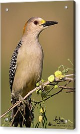 Portrait Of A Golden-fronted Woodpecker Acrylic Print