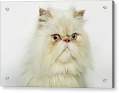 Portrait Of A Persian Cat Acrylic Print by Flashpop