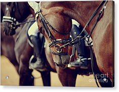 Portrait Of A Sports Stallion. Riding Acrylic Print
