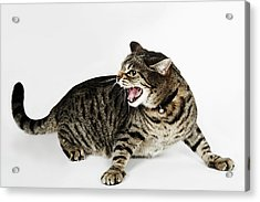 Portrait Of Cat Hissing Acrylic Print by Flashpop