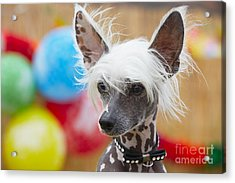 Portrait Of Chinese Crested Dog - Copy Acrylic Print