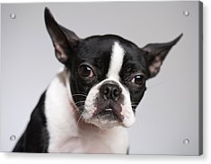 Portrait Of Dog Acrylic Print by Jupiterimages