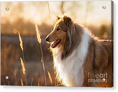 Portrait Of Rough Collie At Sunset Acrylic Print
