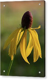 Acrylic Print featuring the photograph Prairie Coneflower by Dale Kincaid
