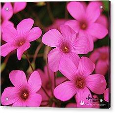 Pretty Pink Phlox Acrylic Print