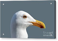 Pretty Western Gull In Profile Acrylic Print