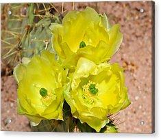 Prickly Pear Cactus Trio Bloom Acrylic Print