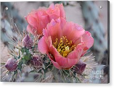 Prickly Pear Cactus With Pink Flowers Acrylic Print