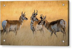 Pronghorn Morning Meeting Acrylic Print