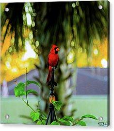 Proud Male Cardinal Acrylic Print