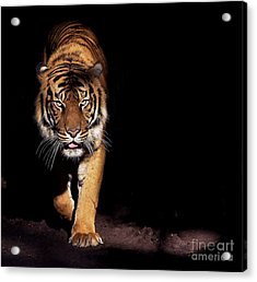 Prowling Tiger Acrylic Print
