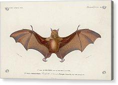 Pteropus Edwardsii Acrylic Print