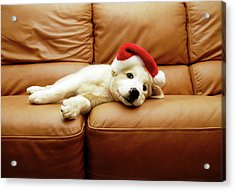 Puppy Wears A Christmas Hat, Lounges On Acrylic Print