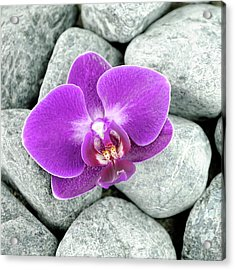 Purple And White Moth Orchid Acrylic Print
