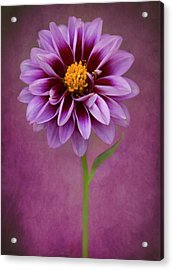 Acrylic Print featuring the photograph Purple Dahlia by John Rodrigues