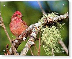Purple Finch Acrylic Print