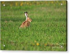 Rabbit Chews Acrylic Print